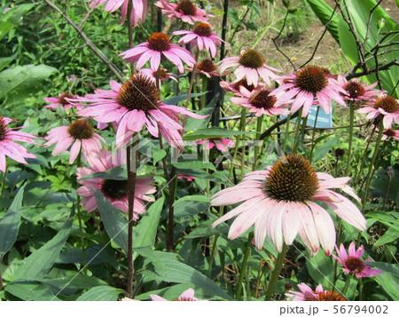 大きなヒマワリのような紫の花はエキナケア 56794002
