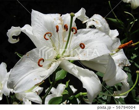 白い大きな花の百合はカサブランカ 56794004