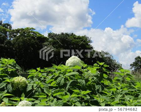 ハイドランジアアナベルというアジサイの白い花と青い空と白い雲 56794682