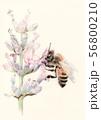 西洋ミツバチ 56800210