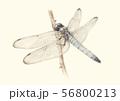シオカラトンボ 56800213