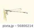 アオモンイトトンボ 56800214
