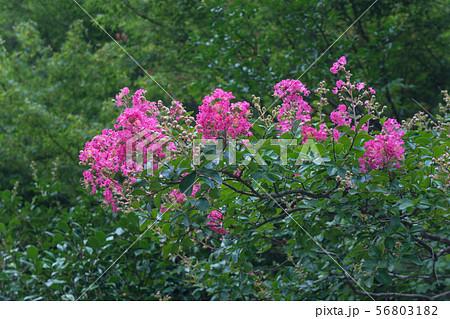 百日紅の花 56803182