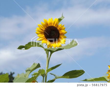 夏の花ヒマワリの黄色い大輪の花 56817975
