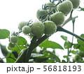 瑞々しいミニトマト 56818193