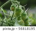 瑞々しいミニトマト 56818195