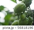 瑞々しいミニトマト 56818196