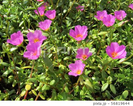 ポーチュラカのピンクの花 56819644