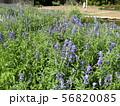 サルビア・ファリナセアの青い花 56820085