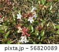 歩道の植え込みの白い可愛い花はアベリアの花 56820089