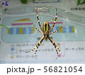 網を張ってがんばるジョロウグモのメス 56821054