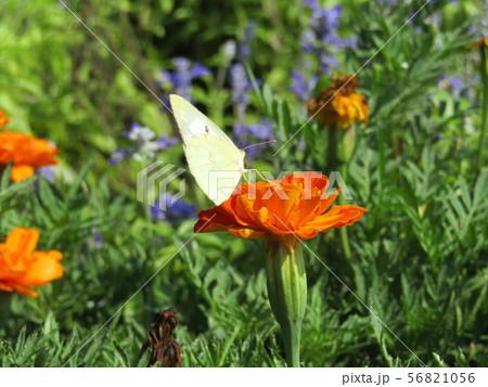 モンシロチョウが蜜を吸いに来ているオレンジ色のマリーゴールドの花 56821056
