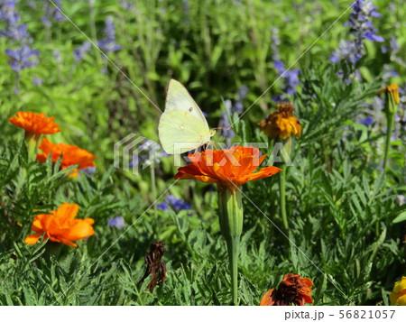 モンシロチョウが蜜を吸いに来ているオレンジ色のマリーゴールドの花 56821057