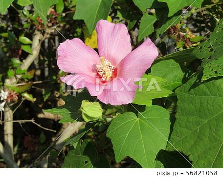 夏の花アメリカフヨウの桃色花 56821058
