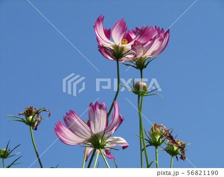 秋を告げる赤い縁取りの桃色のコスモスの花 56821190