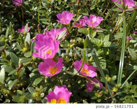 ポーチュラカの桃色の花 56821701