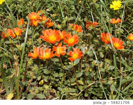 ポーチュラカのオレンジ色の花 56821706