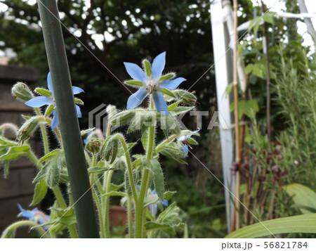 ボリジの苗が青い星型の花を咲かせるまでに育ちました 56821784