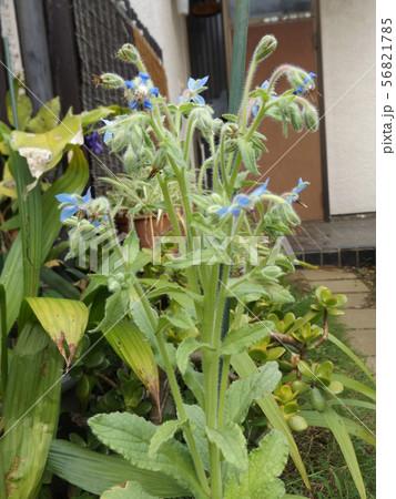 ボリジの苗が青い星型の花を咲かせるまでに育ちました 56821785