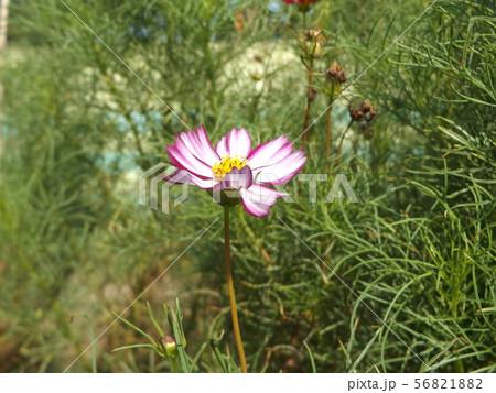 秋の花の代表赤い縁取りの桃色のコスモスの花 56821882