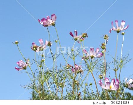 秋の花の代表赤い縁取りの桃色のコスモスの花 56821883