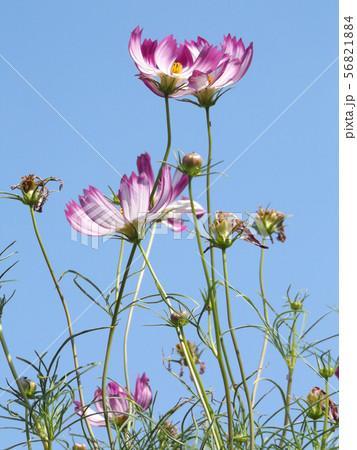 秋の花の代表赤い縁取りの桃色のコスモスの花 56821884