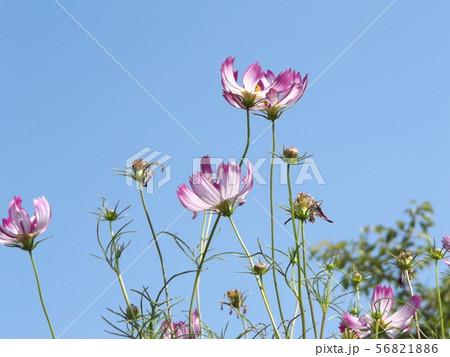 秋の花の代表赤い縁取りの桃色のコスモスの花 56821886