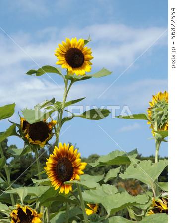 夏の大きな黄色い花はヒマワリの花 56822554