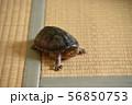 ミシシッピニオイガメの部屋ん歩 56850753