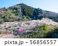 高尾梅郷梅まつり 木下沢梅林と熊笹山 (東京都八王子市) 2019年3月 56856557