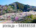 高尾梅郷梅まつり 木下沢梅林と熊笹山 (東京都八王子市) 2019年3月 56856558