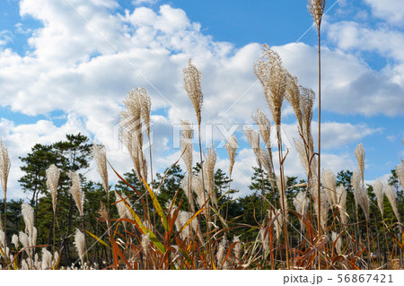 かわいい雲が浮かぶ青空のもとで揺らぐ晩秋のふわふわのススキ 56867421