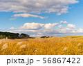 きれいな青空の下で黄金色に輝くススキの草原 56867422