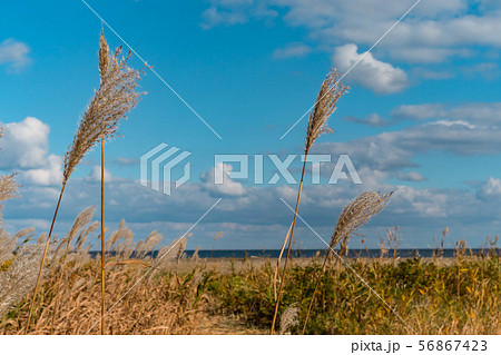 透明な青い空と海を背景に優しく揺れる黄色のススキ 56867423