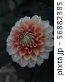 ダリア 56882385
