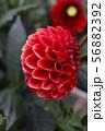 ダリアの、花 56882392