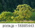 春の朝  春の樹木 56885443