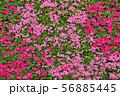 ツツジ  つつじ 春の花 56885445