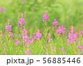 夏の花 ヤナギラン   56885446