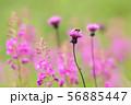 夏の花 アザミ 蜜蜂  56885447