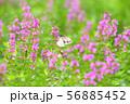 秋の花 ピンクの花 56885452