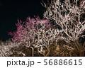 偕楽園 梅林 夜梅ライトアップ風景 (茨城県水戸市) 2019年3月 56886615