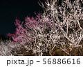 偕楽園 梅林 夜梅ライトアップ風景 (茨城県水戸市) 2019年3月 56886616