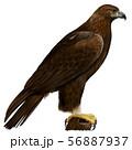イヌワシのイラスト/Golden Eagle Illustration 56887937