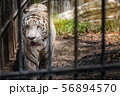 White Tiger at a zoo 56894570