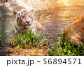 White Tiger at a zoo 56894571
