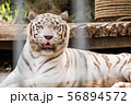 White Tiger at a zoo 56894572