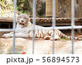 White Tiger at a zoo 56894573