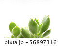 多肉植物のくまのて 56897316