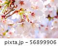 桜のアップ 56899906
